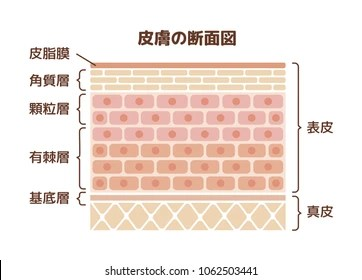 dermis layer diagram marine battery monitoring system images stock photos vectors shutterstock of human skin illustration translation epidermis sebum stratum corneum