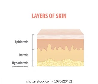 dermis layer diagram 2002 vw passat vacuum hose images stock photos vectors shutterstock layers of skin illustration vector on white background medical concept