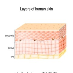 Dermis Layer Diagram 1972 Triumph Tr6 Wiring Images Stock Photos Vectors Shutterstock Layers Of Skin Epidermis Horny And Granular Connective