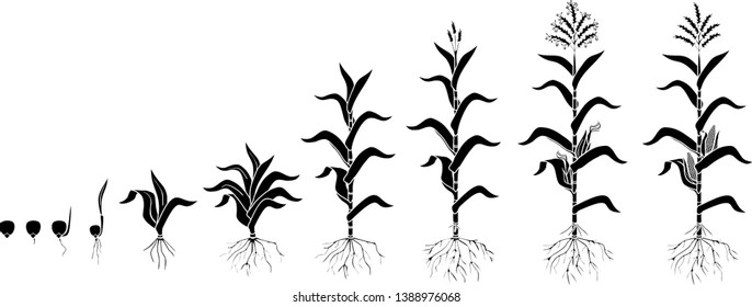 Corn Growth Stages Images, Stock Photos & Vectors