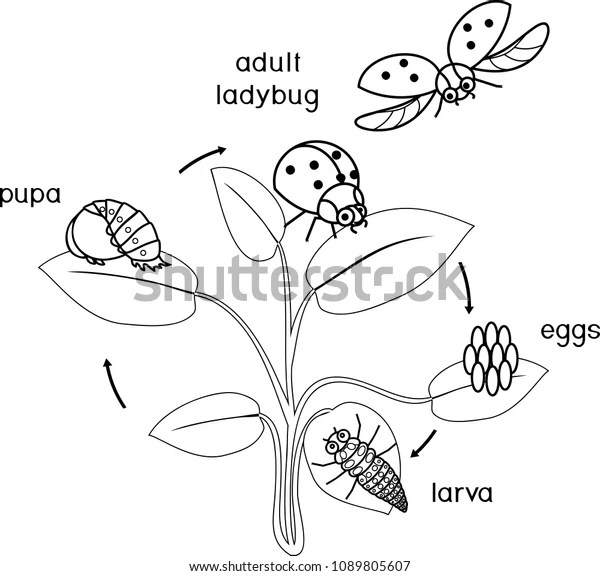 Life Cycle Ladybug Coloring Page Sequence Stock Vector