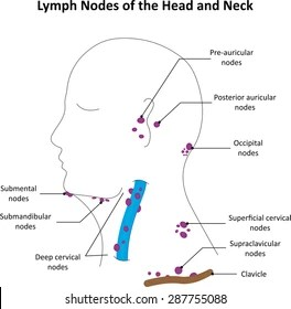 diagram lymph nodes on back of head vaillant ecotec plus system boiler wiring neck labelled stock illustration 287755100 the and