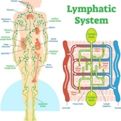 Where Are My Lymph Nodes Diagram Whirlpool Electric Dryer Wiring Images Stock Photos Vectors Shutterstock Lymphatic System Anatomical Vector Illustration Educational Medical Scheme With And Tissue Fluid