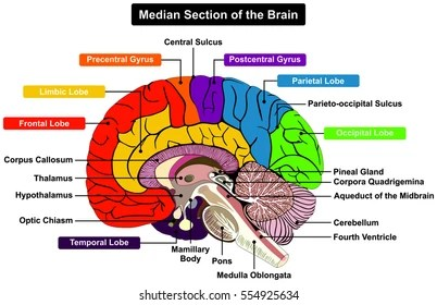 brain diagram pons 1971 honda cb450 wiring midbrain images stock photos vectors shutterstock median section of human anatomical structure infographic chart with all parts cerebellum thalamus