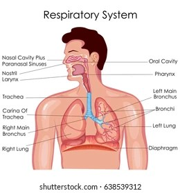 label the following diagram of respiratory system fender scn pickup wiring images stock photos vectors shutterstock medical education chart biology for vector illustration