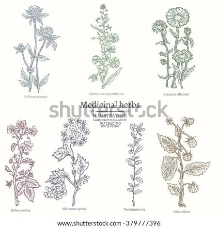 Medical Herbs Collection Medicinal Plants Hand Vector de