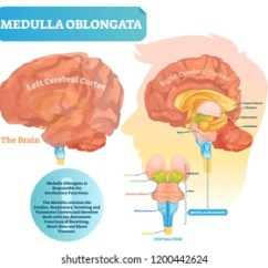 Brain Diagram Pons Electric Motor Single Phase Wiring Midbrain Images Stock Photos Vectors Shutterstock Medulla Oblongata Vector Illustration Labeled With Ventral View And Core Structure