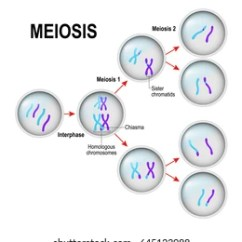Simple Diagram Of Meiosis 2008 Dodge Ram Wiring Images Stock Photos Vectors Shutterstock Cell Division And Interphase In The Illustration Labeled Chiasma Sister Chromatids
