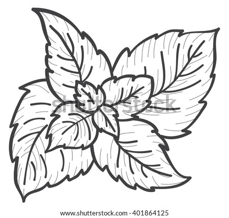 Mint Hand Draw Sketch Stock Vector (Royalty Free