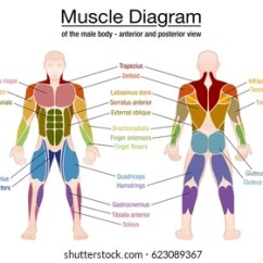 Human Muscles Diagram Labeled Front And Back Ford Fleet Wiring Diagrams Muscle Chart German Labeling Most Important Stock Vector Royalty Of An Athletic Male Body Anterior Posterior View