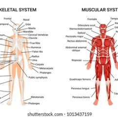 Skeletal Muscle Labeled Diagram Print Jayco Swan Trailer Wiring Anatomy Images Stock Photos Vectors Shutterstock Muscular And Systems Chart Complete Educative Guide Poster Displaying Human Figure From Front Vector