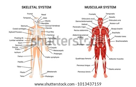 skeletal and muscular system diagram plumbing a toilet drain systems anatomy chart complete stock vector educative guide poster displaying human figure from front