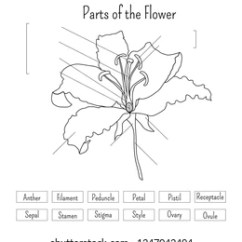 Parts Of A Flower Diagram Organisation Tall Flat Infographics Lily Anatomy Stock Vector Royalty The Worksheet In Black And White Science For