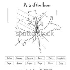 Parts Of A Flower Diagram 2003 Dodge Ram Infinity Stereo Wiring Worksheet Black White Lily Stock Vector Royalty Free The In And Anatomy Science For