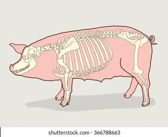 fetal pig skeleton diagram rb25 neo colour wiring anatomy images stock photos vectors shutterstock vector illustration pictures