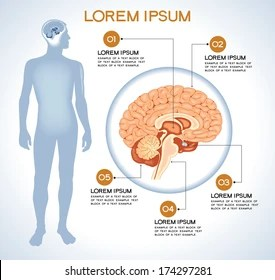 internal brain diagram 2009 hyundai accent radio wiring human anatomy images stock photos vectors shutterstock pituitary modern medical infographics organs in a body of people