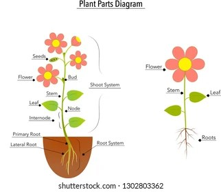 flower parts diagram 1994 ford ranger radio wiring images stock photos vectors shutterstock plant vector