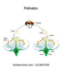 cross pollination diagram for kids 2000 cadillac deville alternator wiring images stock photos vectors shutterstock the process of using an animal pollinator bee anatomy