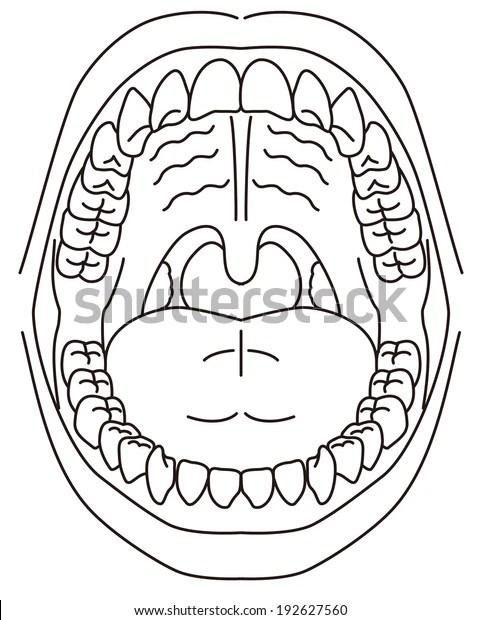 Schematic Diagram Oral Cavity Stock Vector (Royalty Free