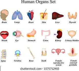 Human External Organ Images Stock Photos Vectors Shutterstock