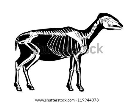 sheep skeleton diagram 72 chevy truck alternator wiring stock vector royalty free 119944378 shutterstock