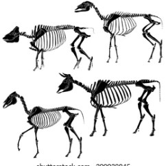 Sheep Skeleton Diagram The Anatomy Of Anxiety Animal Images Stock Photos Vectors Shutterstock Skeletons Cow Pig Horse And Variations