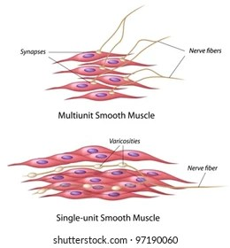 human muscle cell diagram labeled 3 phase motor wiring 9 wire cells images stock photos vectors shutterstock smooth innervation