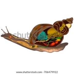 Slug Anatomy Diagram Bohr Of Oxygen Snail Body Structure Stock Vector Royalty