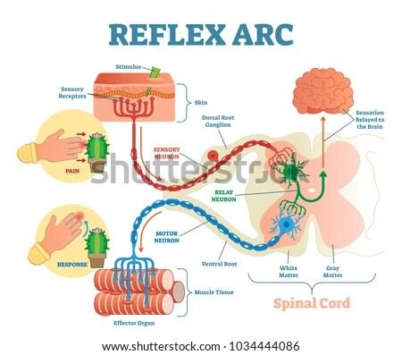 reflex arc diagram 2005 nissan altima alternator wiring spinal anatomical scheme vector stock royalty illustration with cord stimulus pathway to