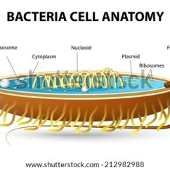 Bacteria Structure Diagram Rj11 To Rj45 Wiring Uk Bacterial Cell Cutaway Vector Stock Of A Typical Illustrating Structural Components