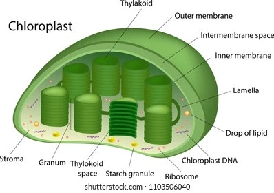 chloroplast diagram with labels pioneer car stereo wiring deh p3100 images stock photos vectors shutterstock structure of