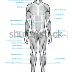 Major Muscle Diagram To Label Johnson Outboard Year Model Identification Stylized Anatomy Showing Stock Vector Royalty Groups Shown From The Front Anterior View With Labels