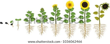 sunflower plant life cycle diagram how to make a phasor growth stages seed stock vector royalty free from flowering and fruit bearing with
