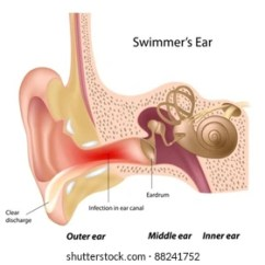 Blank Ear Diagram To Label Vl Ignition Wiring Outer Images Stock Photos Vectors Shutterstock Swimmer S
