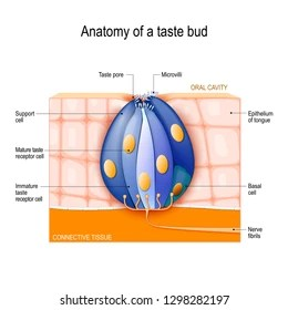 human taste buds diagram wiring for toyota 4runner stereo images stock photos vectors shutterstock bud mature and immature receptor support basal cells epithelium of