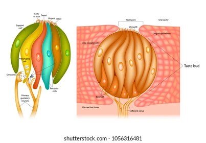 human taste buds diagram asco red hat wiring images stock photos vectors shutterstock bud structure in the tongue receptor cells