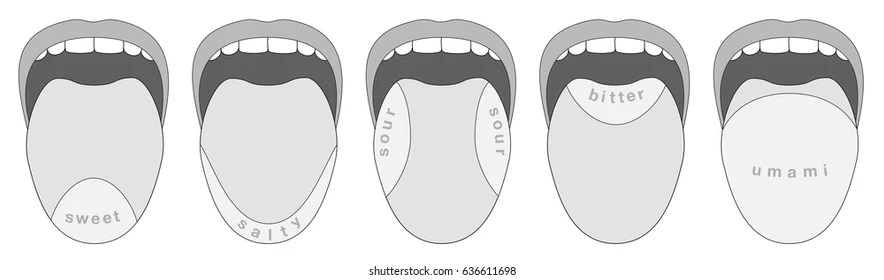 human taste buds diagram featherlite car trailer wiring images stock photos vectors shutterstock areas of the tongue sweet salty sour bitter