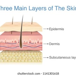 Dermis Layer Diagram 1994 Jeep Cherokee Sport Radio Wiring Images Stock Photos Vectors Shutterstock Three Main Of The Human Skin Illustration About Medical