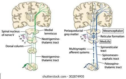 ovarian cycle diagram pretty uterus and ovaries diagram \u2013 wiring  diagram