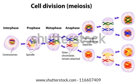 stages of meiosis diagram labeled 97 subaru impreza stereo wiring vector phases stock royalty free 116607409 the