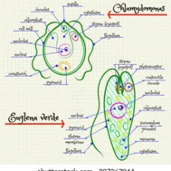 Euglena Cell Diagram With Labels 2002 Mitsubishi Montero Wiring Vector Drawing Structure Chlamydomonas Stock Royalty Of The And