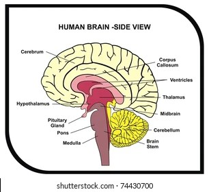 labelled diagram of human brain 2001 chevy s10 blazer radio wiring side view parts stock photo edit now 83941303 vector with cerebrum hypothalamus thalamus