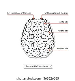 easy brain diagram entity examples human anatomy structure stock vector royalty free view isolated top illustration of for medical