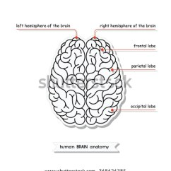 Easy Brain Diagram 1991 Club Car 36 Volt Wiring Vector Human View Isolated Stock Royalty Free Top Illustration Of For Medical Design Study Or Concept Logo Recolor