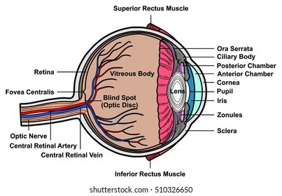 structure of human eye with diagram blank heart worksheet images stock photos vectors shutterstock vector cross section anatomy all parts anatomical artery vein nerve