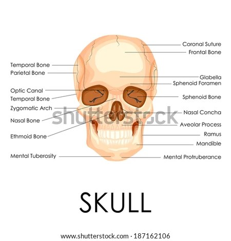 human mandible diagram 2008 ford f150 lariat radio wiring vector illustration skull stock royalty free of