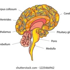 Brain Diagram Pons Messenger Rna Human Side View Parts Stock Photo Edit Now 83941303 Vector Illustration Of Anatomy Structure Sections And Functions Educational Materials