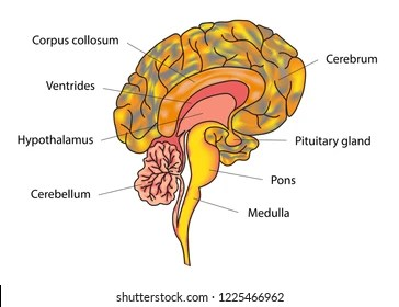 brain diagram pons oil pressure switch wiring human side view parts stock photo edit now 83941303 vector illustration of anatomy structure sections and functions educational materials