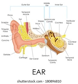 outter ear diagram labeled human 4 way coordination outer images stock photos vectors shutterstock vector illustration of anatomy