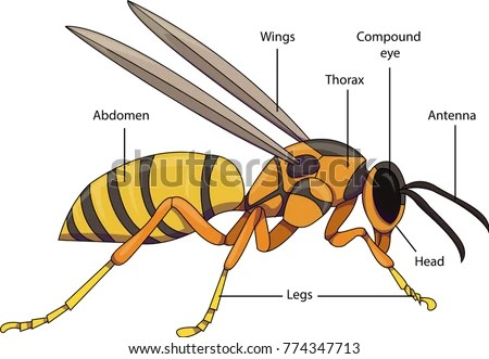 hornet anatomy diagram kenwood kdc wiring manual vector illustration insect labeled parts stock of an with a wasp